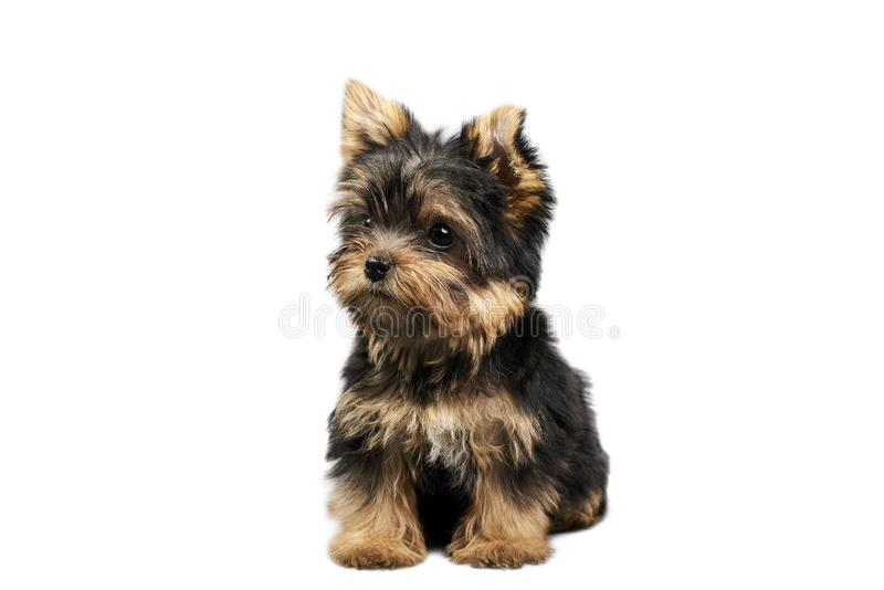 Yorkshire Terrier puppies. Beautiful Yorkshire Terrier puppy sitting stock photo