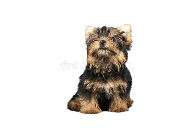 Yorkshire Terrier puppies. Beautiful Yorkshire Terrier puppy sitting stock image