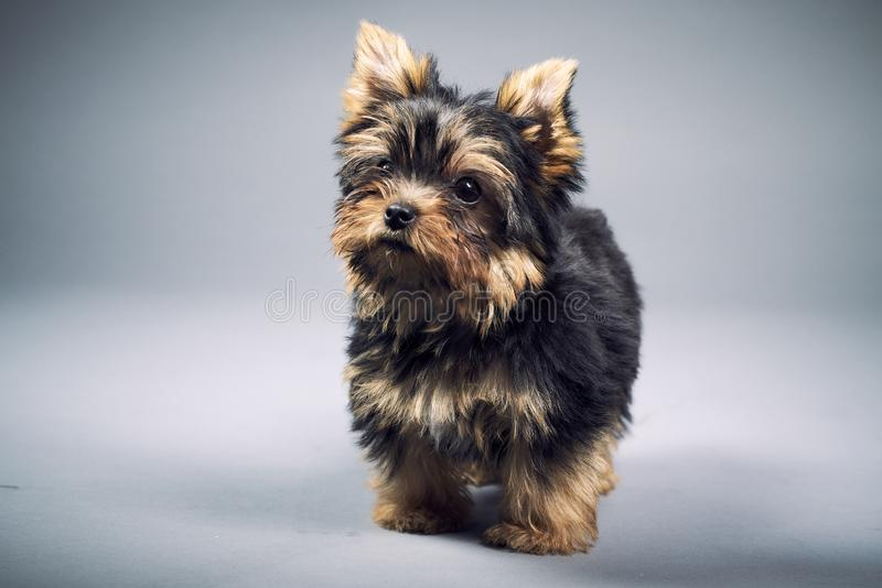 Yorkshire Terrier puppies. Beautiful Yorkshire Terrier puppy sitting stock images