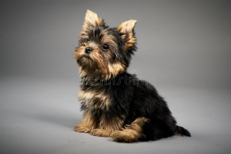 Yorkshire Terrier puppies. Beautiful Yorkshire Terrier puppy sitting royalty free stock image
