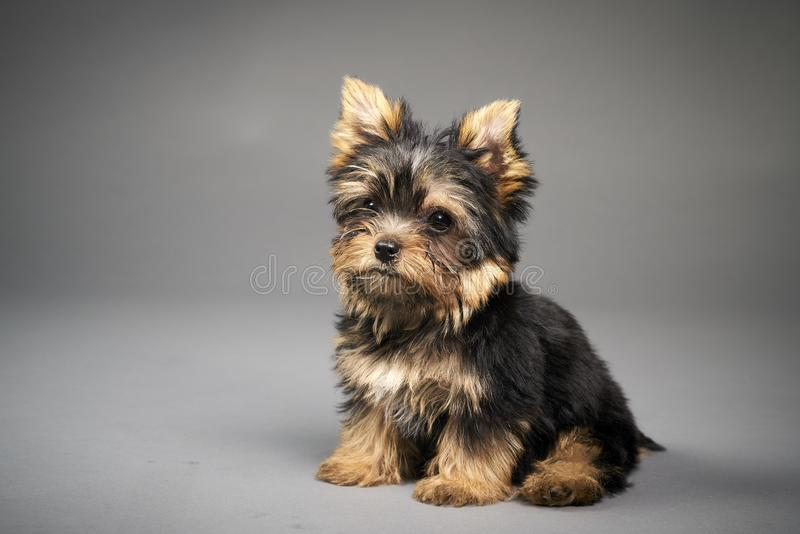 Yorkshire Terrier puppies. Beautiful Yorkshire Terrier puppy sitting royalty free stock photography