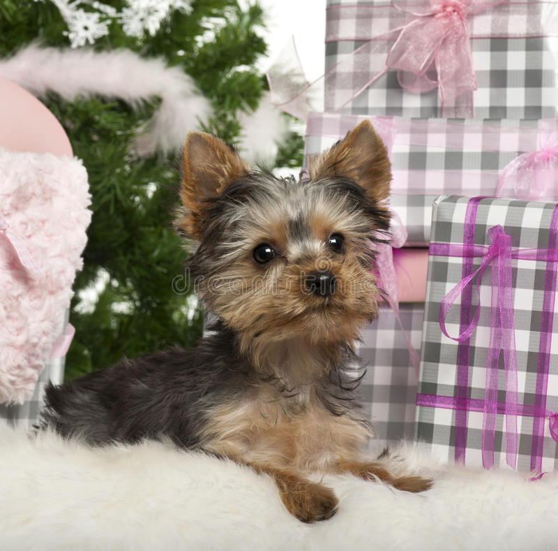 Free Yorkshire Terrier Puppy, 3 Months Old, Lying Royalty Free Stock Images - 22517299