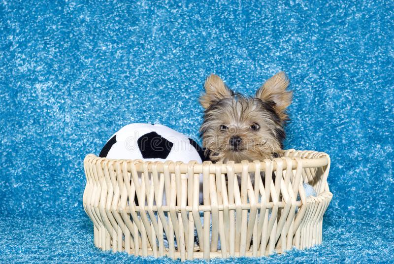 Download Yorkshire Terrier Puppy In Basket With Soccer Ball Stock Image - Image of brown, beige: 9038593
