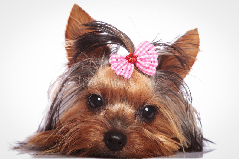 Yorkshire terrier puppy dog is lying down to rest. Sleepy little yorkshire terrier puppy dog is lying down to rest stock photo