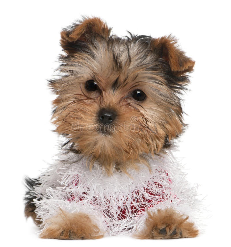 Free Yorkshire Terrier Puppy Dressed Up Royalty Free Stock Photos - 17597708