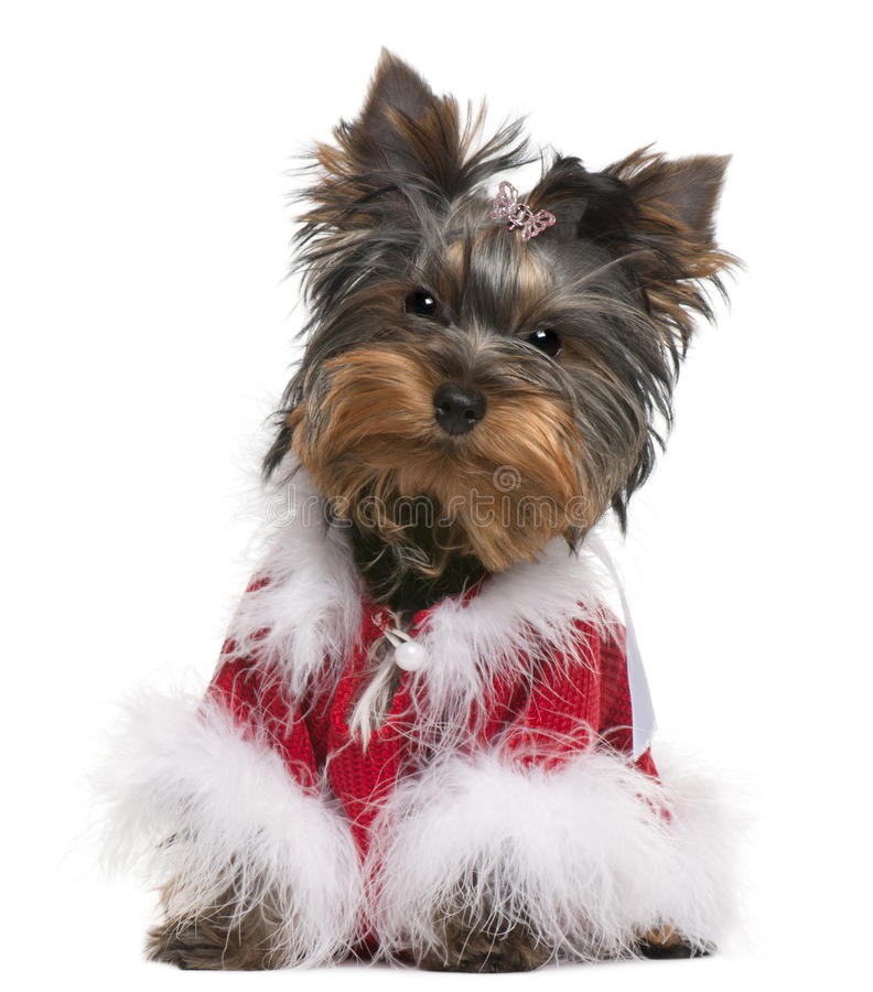 Download Yorkshire Terrier Puppy Dressed Up Stock Photo - Image: 17597764