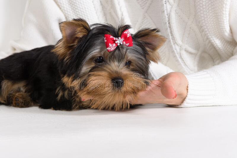 Yorkshire Terrier puppy lies in the hands of the owner. Concept of trust of a dog to a person. Yorkshire Terrier, York, puppy lies in the hands of the owner and stock photos