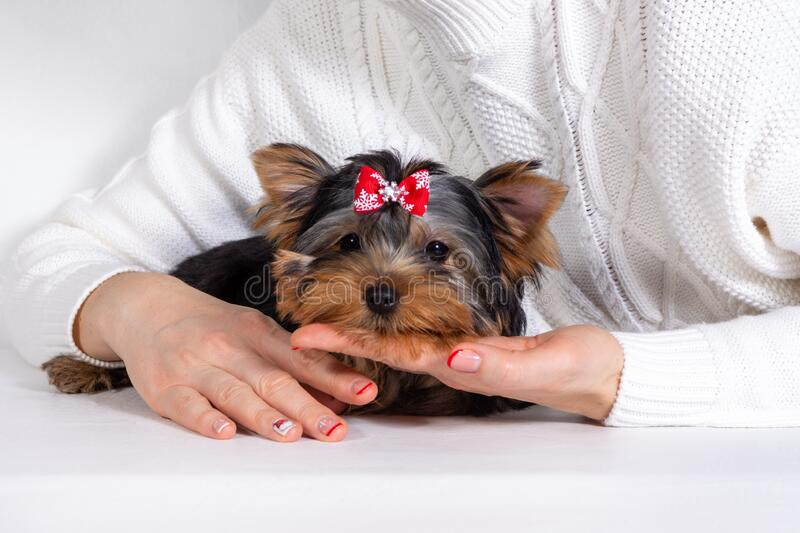 Yorkshire Terrier puppy lies in the hands of the owner. Concept of trust of a dog to a person. Yorkshire Terrier, York, puppy lies in the hands of the owner and royalty free stock photo