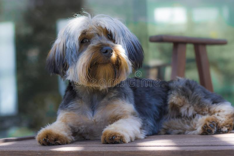 Yorshire Terrier puppy sitting on a deckchair looking cute in a garden in Hout Bay, Cape Town. Yorkshire Terrier puppy playing in the garden royalty free stock photography