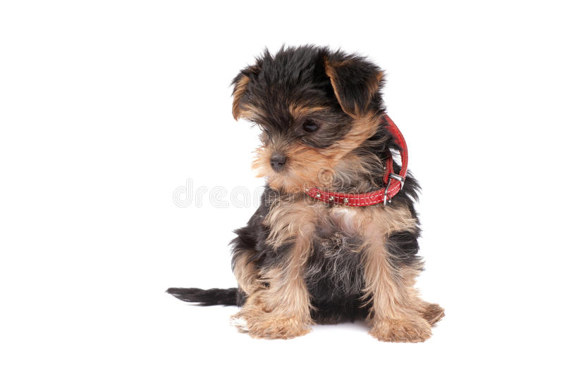 Download Yorkshire Terrier Puppy With Red Collar Stock Image - Image: 20150733