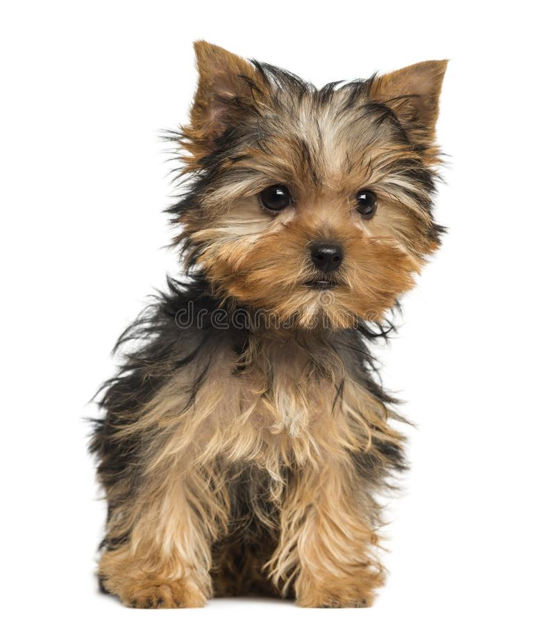 Free Yorkshire Terrier Puppy Sitting, 3 Months Old Stock Photos - 131688983