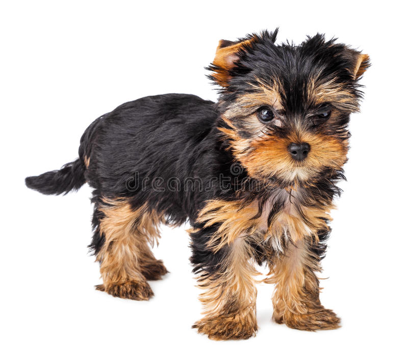 Yorkshire Terrier puppy standing stock photo