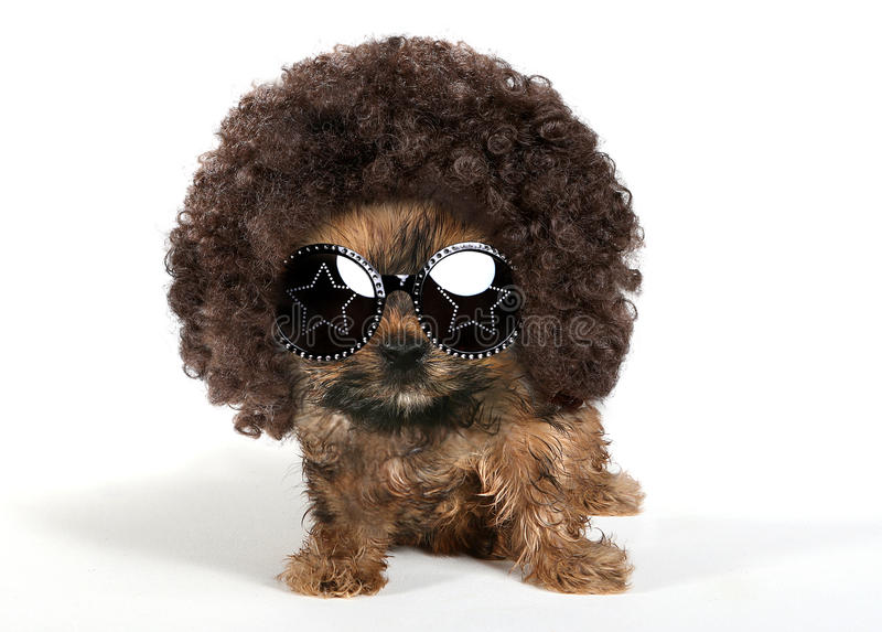 Yorkshire Terrier Puppy Wearing an Afro and Sun Glasses royalty free stock photo