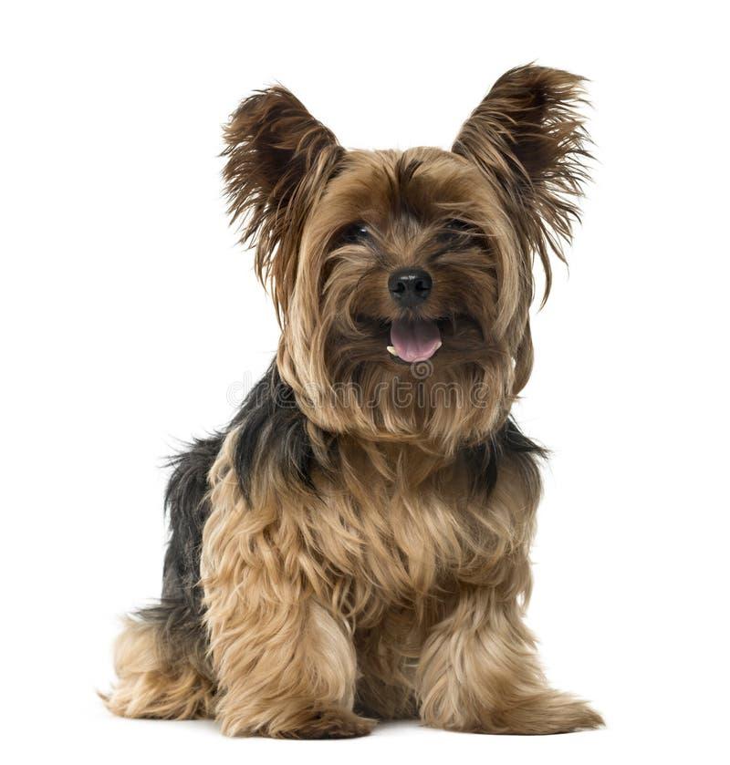 Yorkshire Terrier que pega la lengua hacia fuera fotografía de archivo