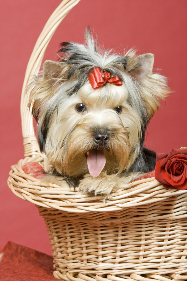 Yorkshire terrier on red background royalty free stock photo