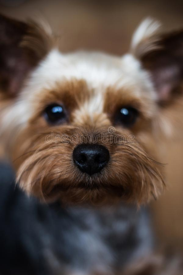 Yorkshire Terrier`s nose close-up royalty free stock photos