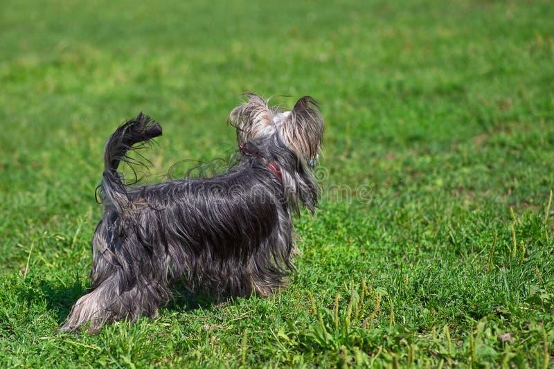 Yorkshire Terrier se fuga la hierba, primer trasero de la visión fotografía de archivo libre de regalías