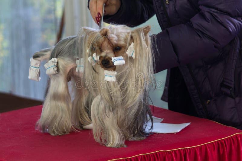 Yorkshire Terrier se pr?pare ? l'exposition canine photo libre de droits