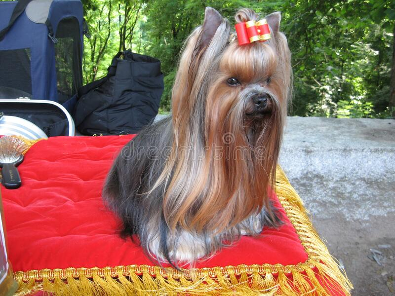 Yorkshire Terrier in show coat close-up. Portrait of beautiful Yorkshire Terrier stock images