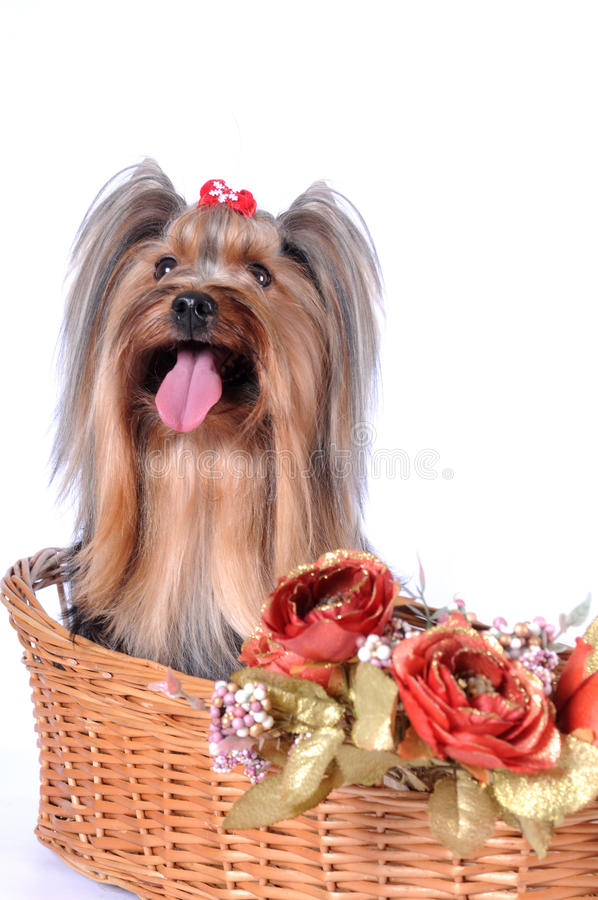 Yorkshire Terrier Sits In A Basket Royalty Free Stock Photos