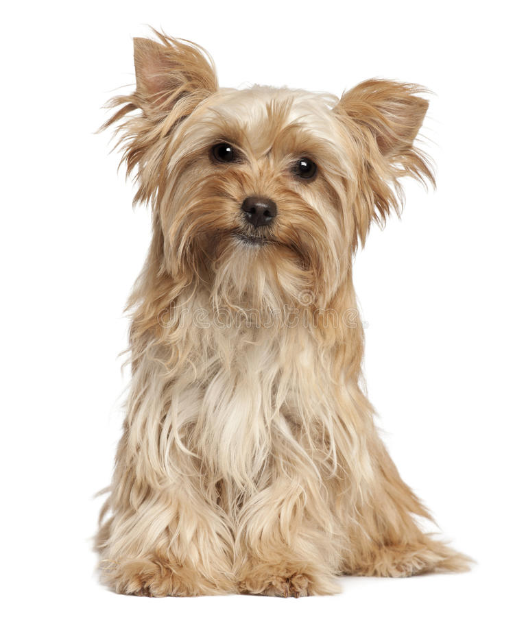 Yorkshire Terrier sitting stock photography