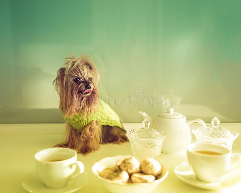 Yorkshire Terrier sitting on kitchen table royalty free stock photo