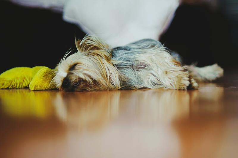 Yorkshire terrier sleeping dog in mexico royalty free stock photo