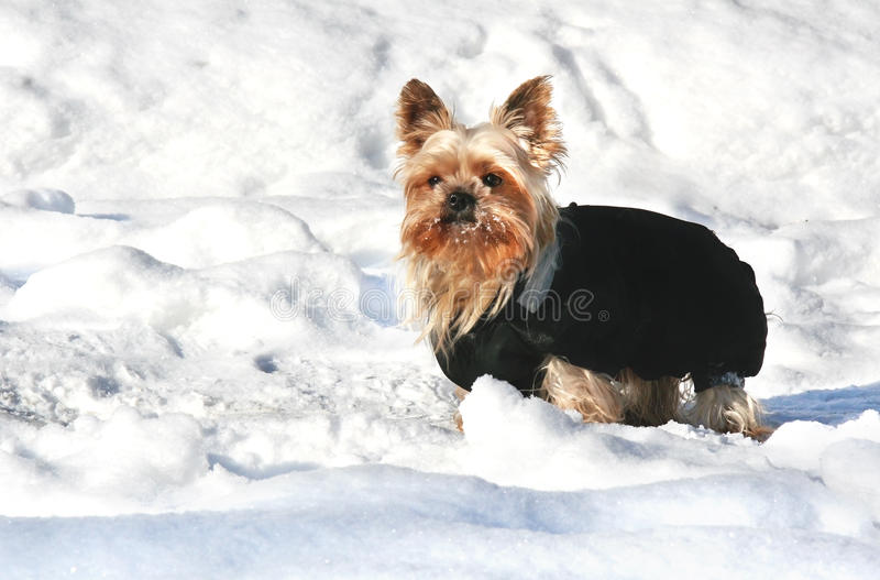Yorkshire terrier in the snow stock photo