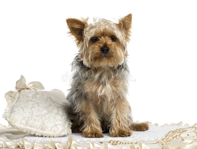 Yorkshire Terrier sammanträde på en matta som isoleras arkivfoton