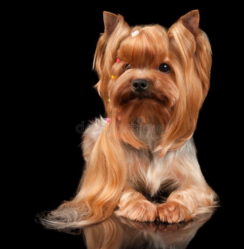 Yorkshire Terrier sur le noir images stock