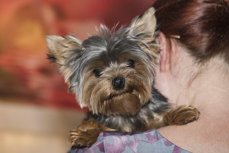 Yorkshire Terrier sur une épaule du ` s de femme photo stock