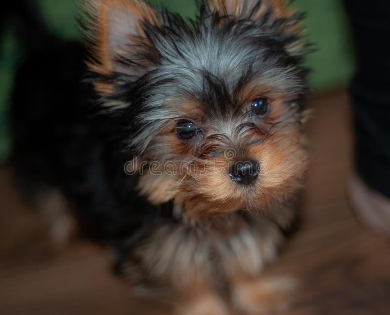 Yorkshire Terrier, tasse de thé, chien affectueux d'amusement photo libre de droits