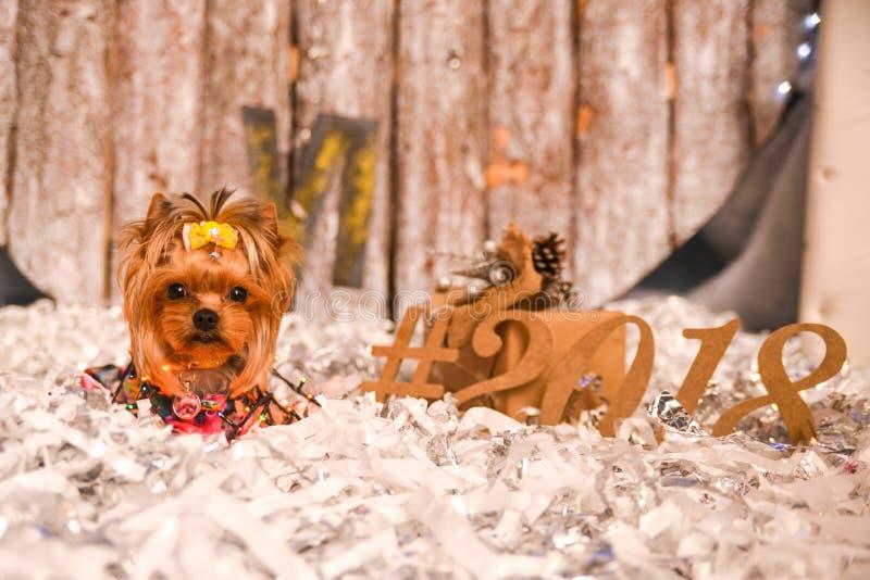 Yorkshire terrier, un pezzo e un cagnolino adorabile in Natale festivo fotografia stock