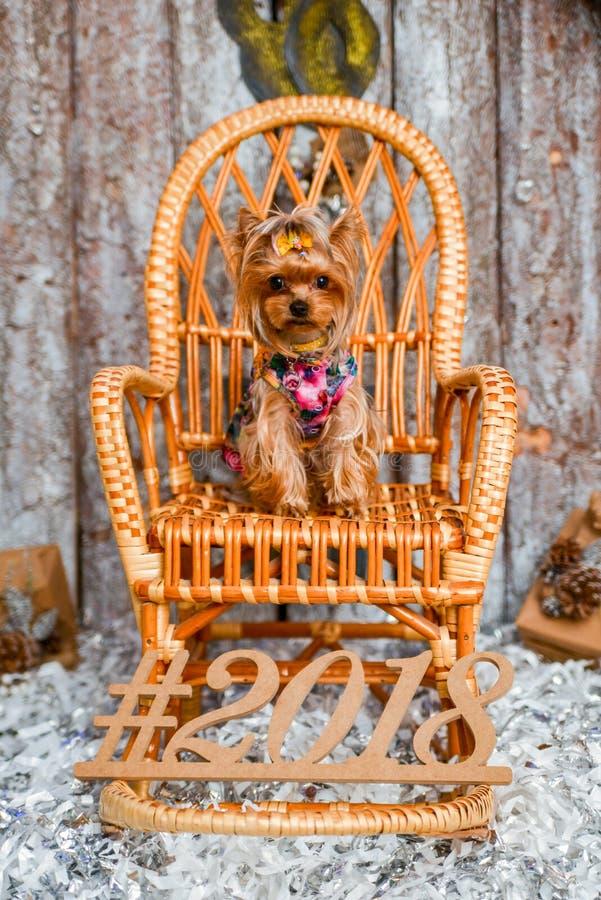 Yorkshire terrier, un pezzo e un cagnolino adorabile in Natale festivo immagini stock