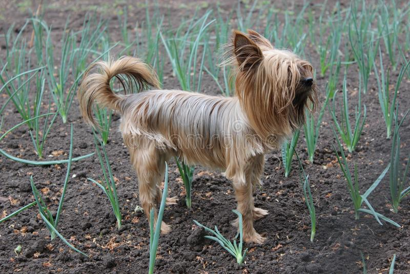 Yorkshire Terrier walks in the garden. Yorkshire Terrier dog walks in the garden royalty free stock photos