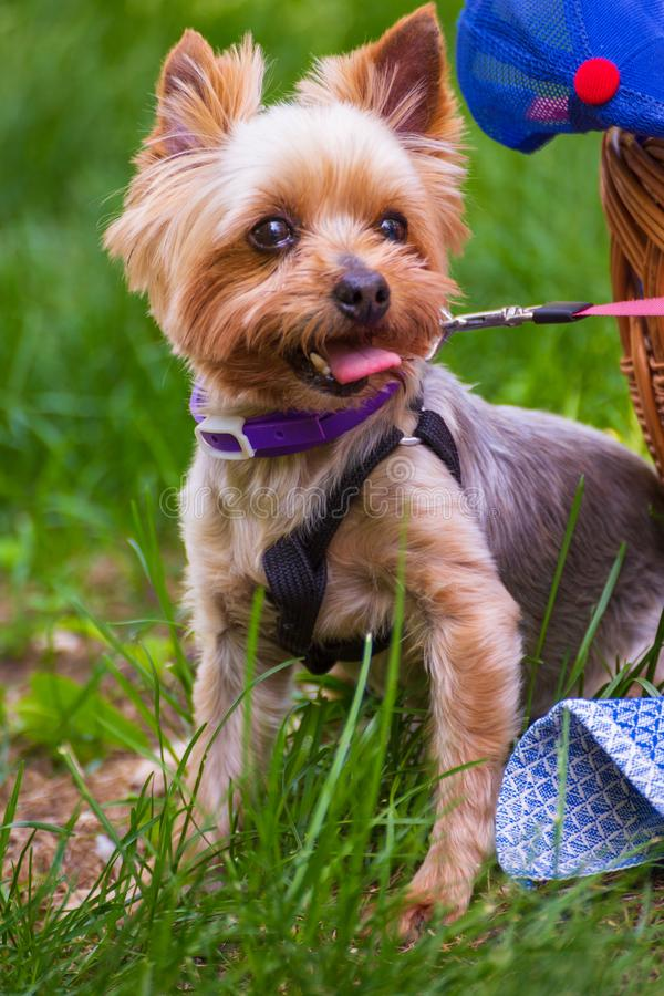 Yorkshire Terrier walks with the owner. Yorkshire Terrier walks with the owner on the grass on a sunny summer day royalty free stock photography