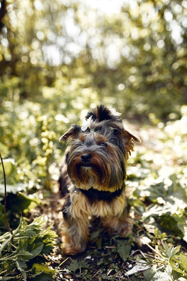 Yorkshire Terrier Wenig netter Hund auf einem Weg im Park Heller Hintergrund mit bokeh lizenzfreies stockfoto