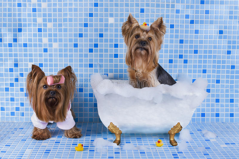 Yorkshire-Terrier werden im Badezimmer gebadet stockfotos