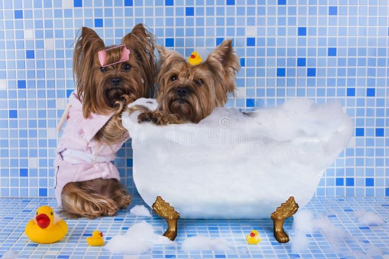 Yorkshire-Terrier werden im Badezimmer gebadet stockbild