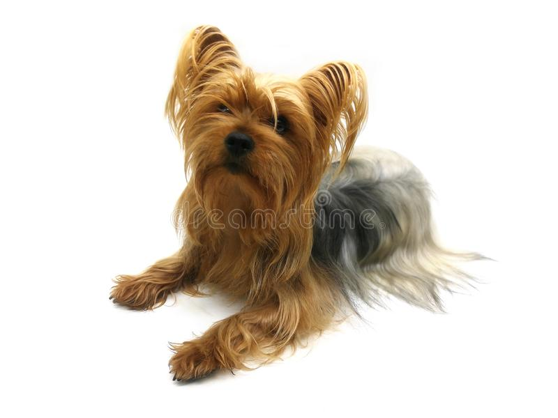 Yorkshire terrier on white background. Beautiful dog. Looking at camera stock photos