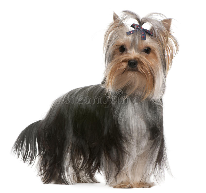 Free Yorkshire Terrier With Hairbow, 13 Months Old Royalty Free Stock Photo - 17597605