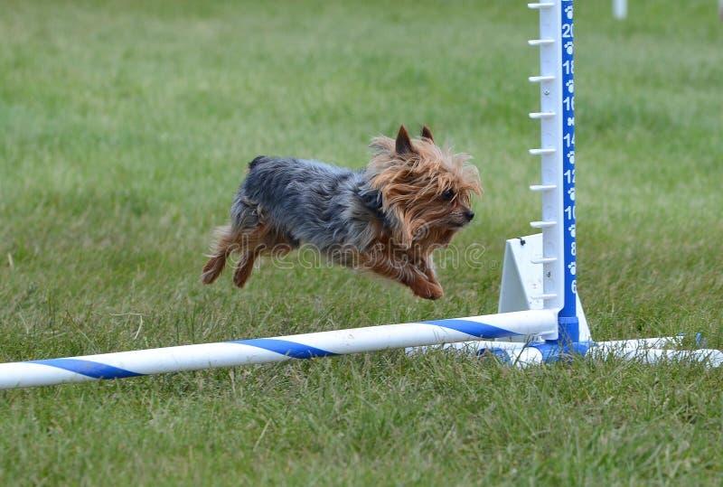 Yorkshire Terrier (Yorkie) bij de Proef van de Hondbehendigheid stock fotografie