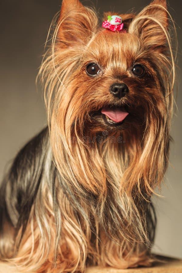 Yorkshire-Terrierhündchen mit dem Mund offen lizenzfreies stockbild