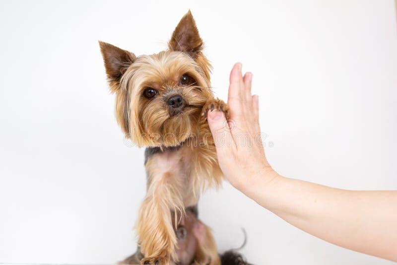Yorkshire-Terrierhund gibt Tatze auf weißem Hintergrund lizenzfreie stockfotos