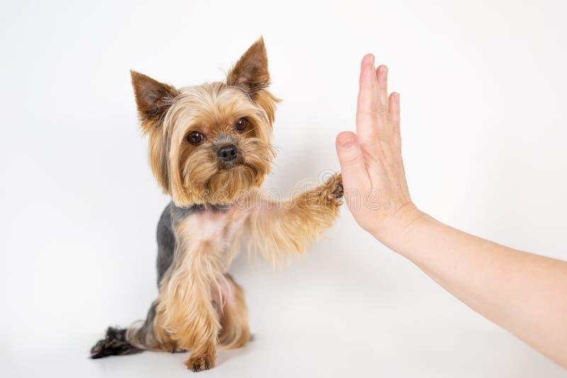 Yorkshire-Terrierhund gibt Tatze auf weißem Hintergrund stockbild