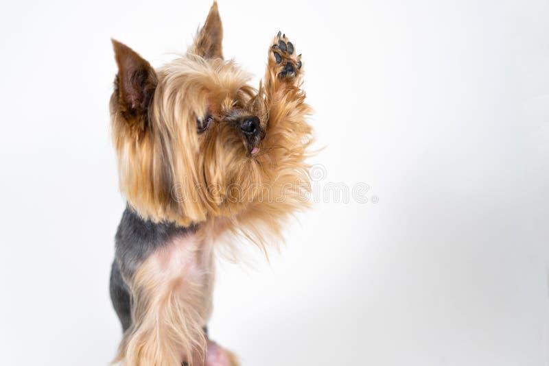 Yorkshire-Terrierhund gibt Tatze auf weißem Hintergrund stockfoto