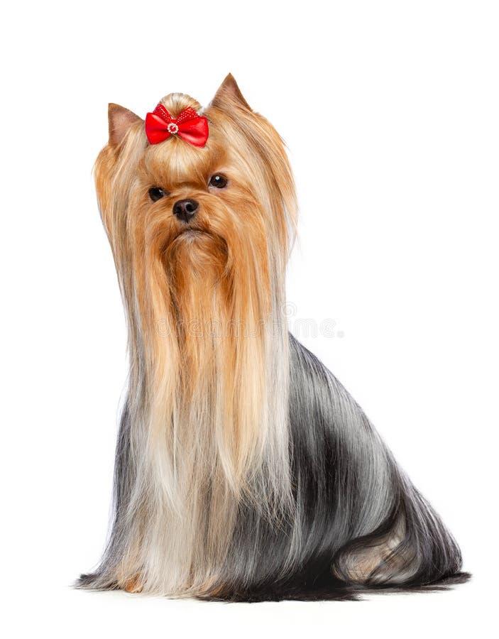 Yorkshire-Terrierhund lokalisiert auf weißem Hintergrund lizenzfreie stockfotografie
