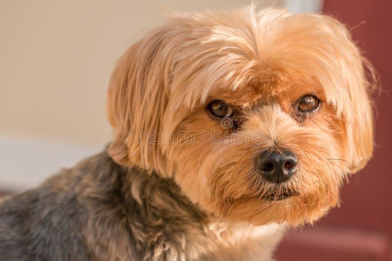 Yorkshire-Terrierporträt - reine Zucht - große Einzelperson stockfotografie