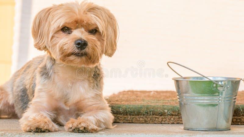 Yorkshire-Terrierporträt - reine Zucht - große Einzelperson stockbilder