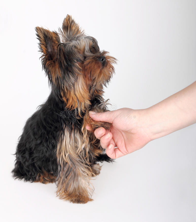 Download Yorkshire Terriers stock image. Image of friend, adorable - 18687053
